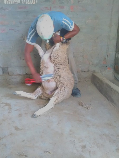 Shearing happens in Spring each year