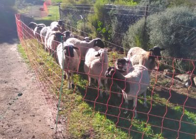 Our flock is managed in mobile electric fences on Lucerne pasture