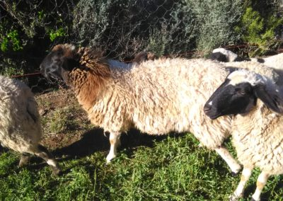 Awassi cross Dorper ewes